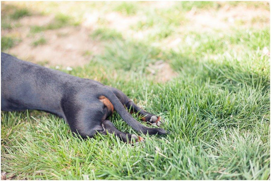 dachshund tail